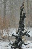 Spurvehøgen venter/ A waiting Sparrowhawk