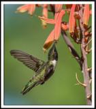 Black-Chinned Hummingbird (male) Feeding