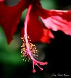 hibiscus, Kihei,Maui, Hawaii