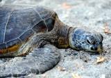 turtle, Pauoa Bay, Big Island, Hawaii