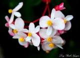 Begonia, Hawi, Hawaii