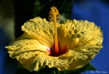 Hibiscus, Kihei, Maui, Hawaii