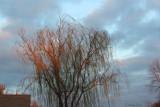 Neighbors Tree lit by the Sun