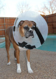 Stone and His Duct Tape E-Collar