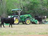 Cows around the John Deer