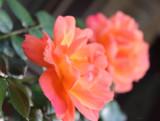 Orange Roses in the Hood