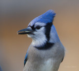 Blue Jay-7905.jpg