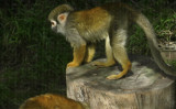 Through a metal screen, a strangely human-like spider monkey  #0736