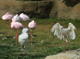 African Spoonbill, with, but separate from, the flamingos. #0774#0744