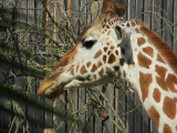 The giraffe caught me and is dubious about the paparazza. #0819