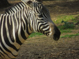 Viewing zebras from further down the hill. #0914