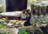 'Tiger, tiger, burning bright...' Larry, the cub's dad. 1158cr.