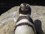 Portrait of imperial penguin. 500mm-equiv+digital zoom. 1216.