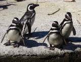 Penguins eager for their feeding. 1221.