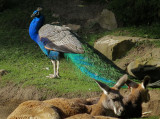 Peacock in kangaroo area. 1346n.