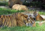 Cub watching mama rest.  #2203r