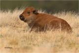 Bison (calf )