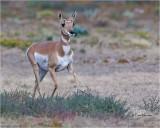 Pronghorn Antelope  [doe}