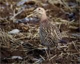 Ring-necked Pheasant {hen}