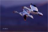 Snow Geese  (backlit)