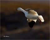 Snow Goose (backlit)