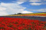 Flower field , at Urano,Hokkaido,Japan
