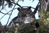 Great Horned Owls 2013