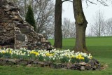 Daffodils and Stone (14)