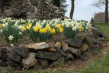 Daffodils and Stone (16)