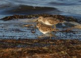 IMG_0020least sandpipers.jpg