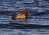 IMG_0038red head duck.jpg