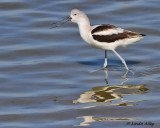 IMG_9336am avocet.jpg