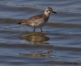 IMG_9503 black bellied plover.jpg