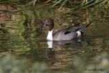 IMG_9541northern pintail.jpg