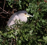 IMG_9547bc night heron.jpg