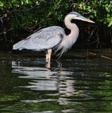 IMG_9565great blue heron.jpg