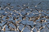 IMG_9619skimmers pintails.jpg