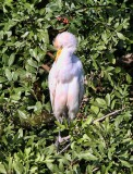 IMG_9669cattle egret.jpg