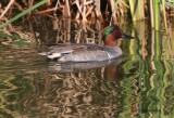 IMG_9697green winged teal.jpg