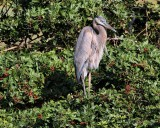 IMG_9720great blue heron.jpg