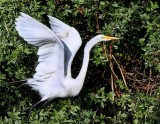 IMG_9786great egret.jpg