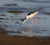 IMG_9962black necked stilt.jpg