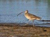 IMG_9980long billed curlew.jpg