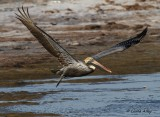 IMG_9989brown pelican.jpg