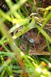 Red-Winged Blackbird nest from three feet up