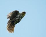 Red-Winged Blackbird female scolding