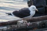 Great Black-Backed Gull banded on Appledore Island 11-Jul-2006