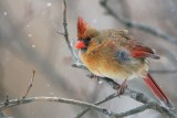 snowy female Northern Cardinal on lilac branch