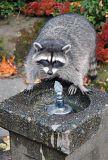 Raccoon  Stanley Park  Vancouver Canada