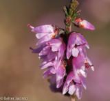 Torga-ordinária // Heather (Calluna vulgaris)